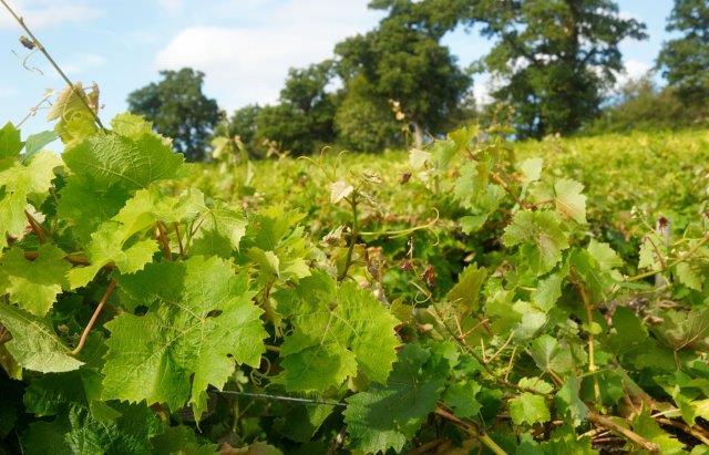 Sherborne Wine 1